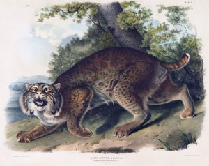 "Among the exhibit's artistic treasures was ""Common American Wildcat,"" a hand-colored lithograph by John James Audubon."