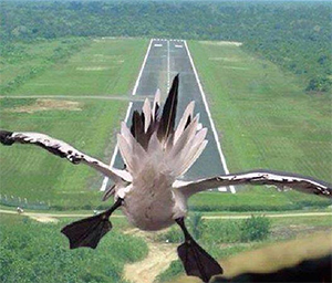 Goose Cleared for Landing!